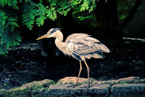 Heron, Water Bird, Bird, Animal, Plumage, Nature, Beak