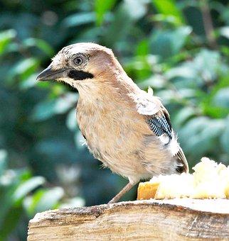 Jay, Bird, Animal, Feathers, Beak, Bird Watching
