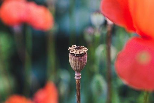 Flower, Poppy, Capsule, Wildflowers, Flora, Botany