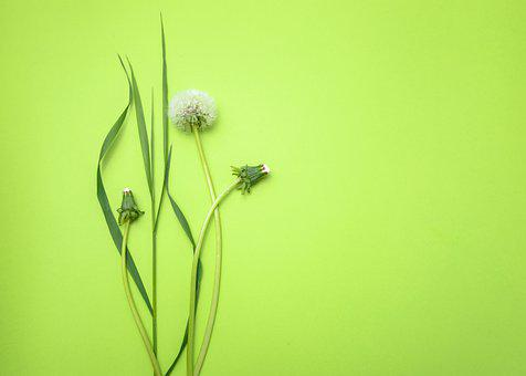 Background, Dandelion, Flower, Leaves, Plants, Ecology