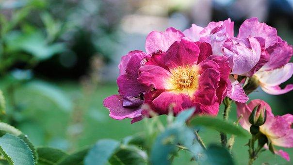 Ground Roses, Flowers, Garden, Roses, Rose Bloom