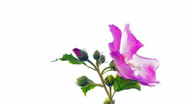 Flower, Hibiscus, Blossom, Bloom, Bud, Pink, Template
