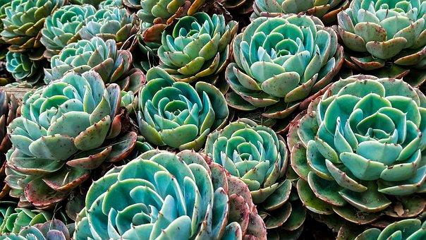 Succulents, Plants, Garden, Cactus, Nature, Green
