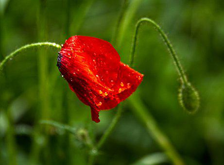 Poppy, Flower, Dew, Dewdrops, Red Poppy, Red Flower