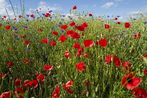 Poppies, Flowers, Field, Meadow, Poppy Meadow