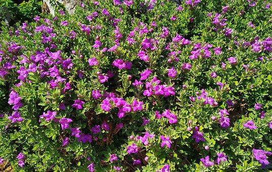 Flowers, Leaves, Plants, Purple Flowers, Petals, Bloom