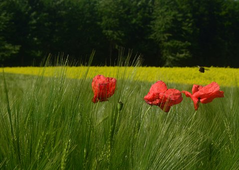 Poppies, Flowers, Field, Wheat, Red Poppies