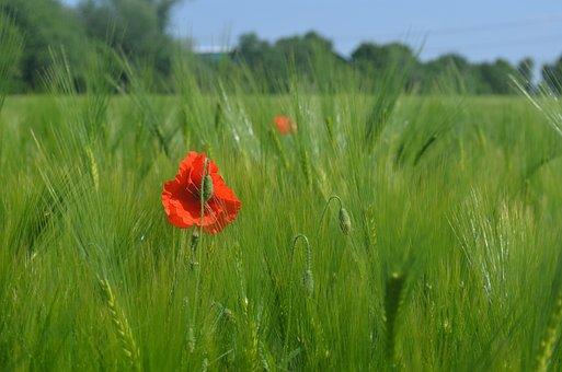Field, Poppy, Wheat, Flower, Red Poppy, Red Flower