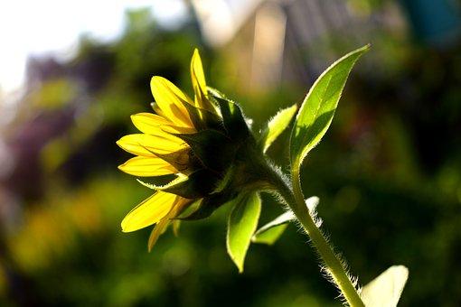 Sunflower, Flower, Bloom, Blossom, Nature, Summer