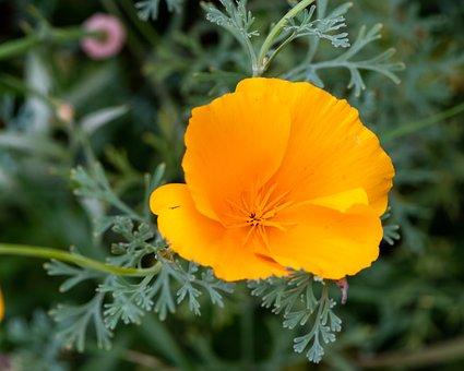 California Poppy, Flower, Plant, Poppy, Orange Flower