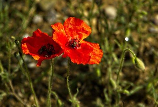Flower, Poppy, Bloom, Blossom, Nature, Petals, Botany