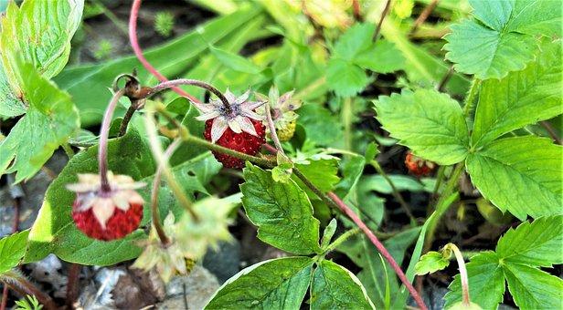 Strawberries, Fruit, Plant, Red Fruit, Leaves, Food