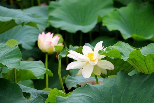 Lotus, Flowers, Plants, Petals, Water Lilies, Bloom