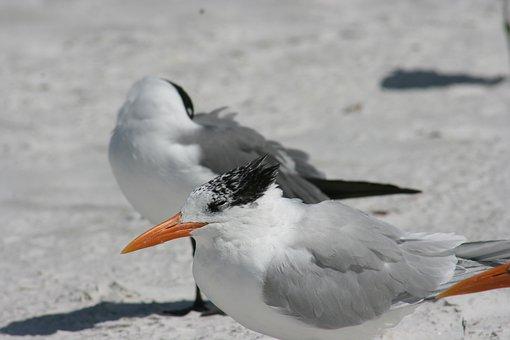 Seagulls, Birds, Gulls, Animals, Wildlife, Seabirds