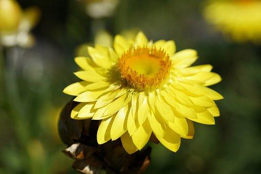 Golden Everlasting, Flower, Plant, Xerochrysum