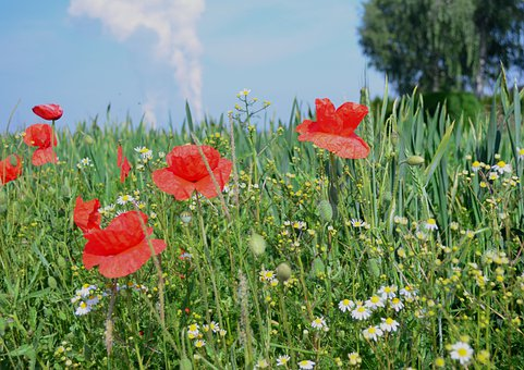 Poppies, Flowers, Field, Meadow, Red Poppies