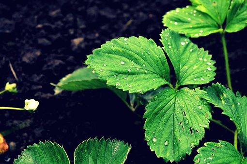 Strawberry, Leaves, Dew, Wet, Dewdrops, Foliage