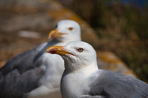 Seagull, Bird, Beak, Feathers, Plumage, Avian