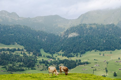 Mountains, Cows, Ruminants, Cattle, Field, Alps