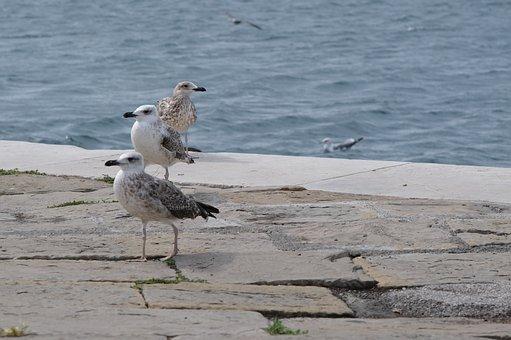 Gulls, Seagulls, Birds, Seabirds, Animals