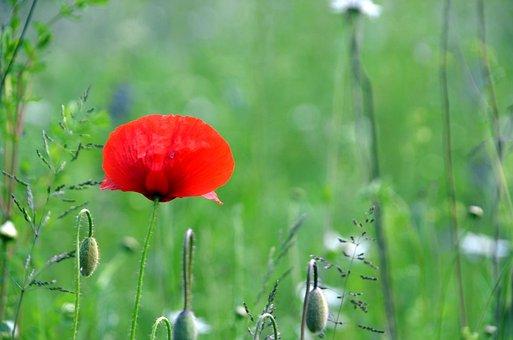Poppy, Flower, Red Poppy, Buds, Red Flower, Petals
