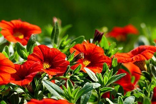 Petunias, Flowers, Garden, Red Flowers, Petals