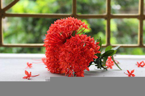 Ixora, Flowers, Plant, Ixora Coccinea, Red Flowers