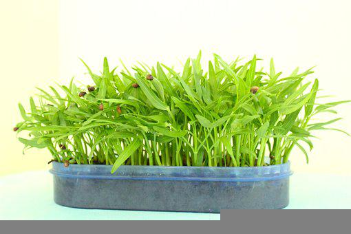 Water Spinach, Saplings, Planter, Plant Pot, Seedlings