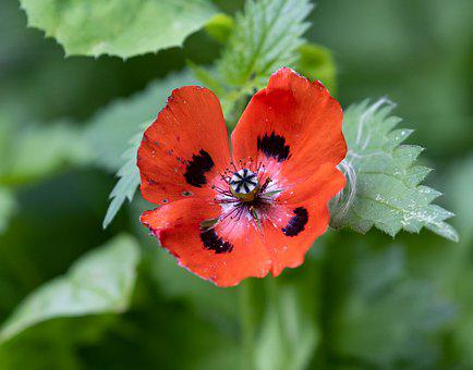 Ladybird Poppy, Flower, Poppy, Red Flower