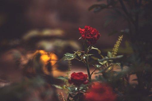 Rose, Flower, Red Rose, Rose Bloom, Petals, Rose Petals