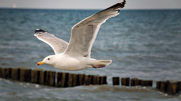 Gull, Seagull, Bird, Coast, North Sea, Baltic Sea, Sea