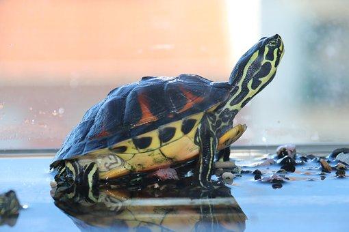 Turtle, Aquarium, Water, Animal