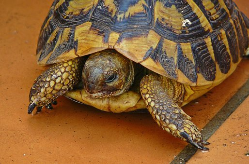 Turtle, Animal, Panzer, Nature, Reptile, Tortoise
