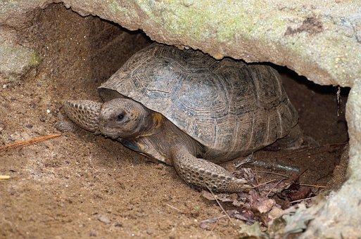 Gopher Turtle, Wildlife, Reptile, Tortoise, Animal
