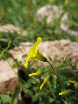 Oxalis Pes-caprae, Flower, Blossom, Bloom, Yellow