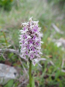 Milkfed Knabenkraut, Flower, Blossom, Bloom, Plant