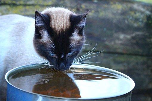 Cat, Siamese Cat, Siam, Water, Drink, Breed Cat