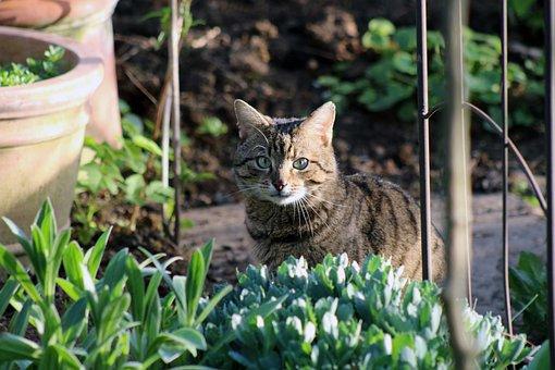 Cat, Tiger, Domestic Cat, Mackerel, European Shorthair