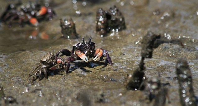 Crab, Mud, River, Crustacean, Nature, Animal