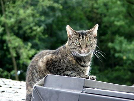 Domestic Cat, Cat, Mackerel, European Shorthair, Animal