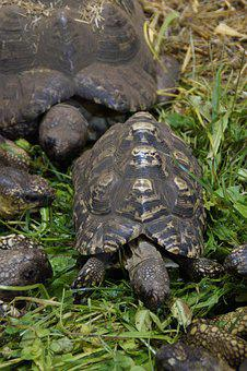 Land Turtles, Turtles, Eat, Feeding, Reptile, Zoo