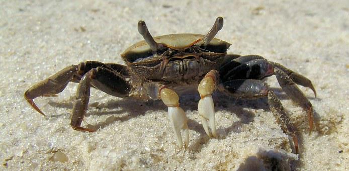 She Crab, Fiddler Crab, Brackish, Salt Water, Sand