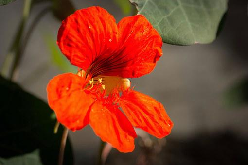 Nasturtium, Cress, Blossom, Bloom, Flower, Bloom, Calyx