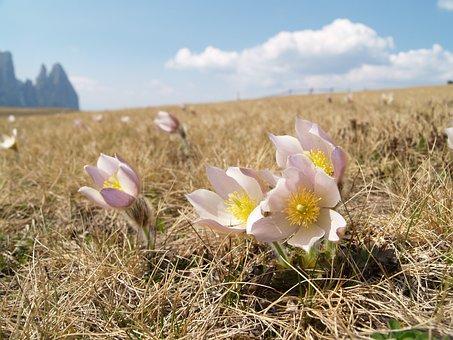 Seiser Alm, Pasque Flower, South Tyrol, Nature, Flowers