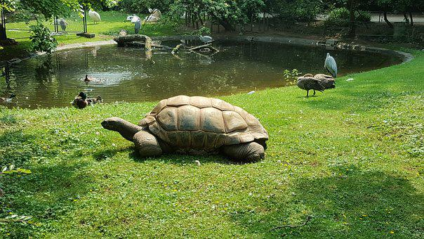 Turtle, Animals, Zoo, Giant Tortoise, Water Turtle