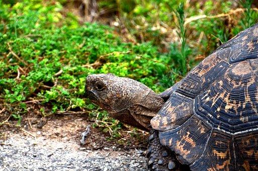 Giant Tortoise, Africa, Wild Animal, Turtle