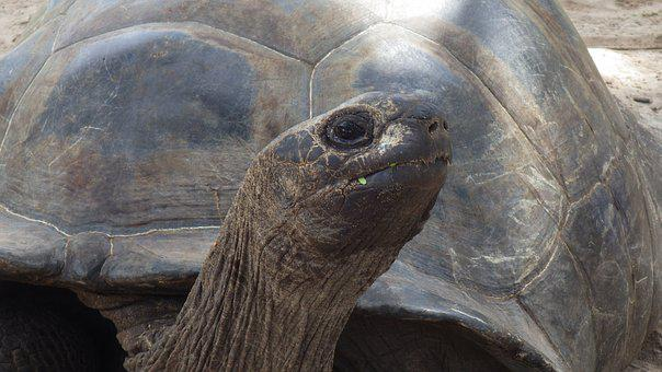 Turtle, Head, Animal, Giant, Nature