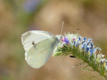 Butterfly, Blanqueta Cabbage, Libar, Pieris Rapae