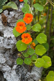 Nasturtium, Orange, Flower