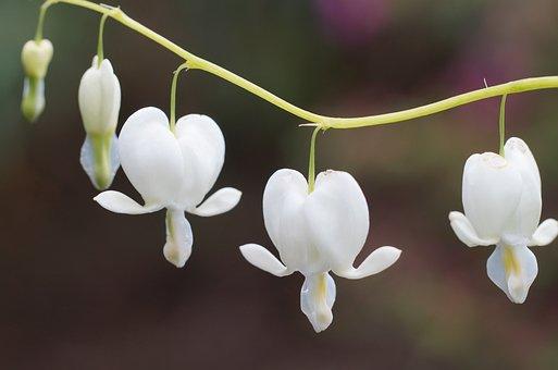 Dicentra White, Bleeding Heart, Plant